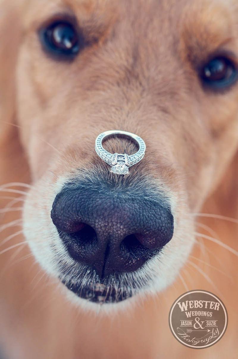 cao-com-o-anel-de-noivado-no-focinho