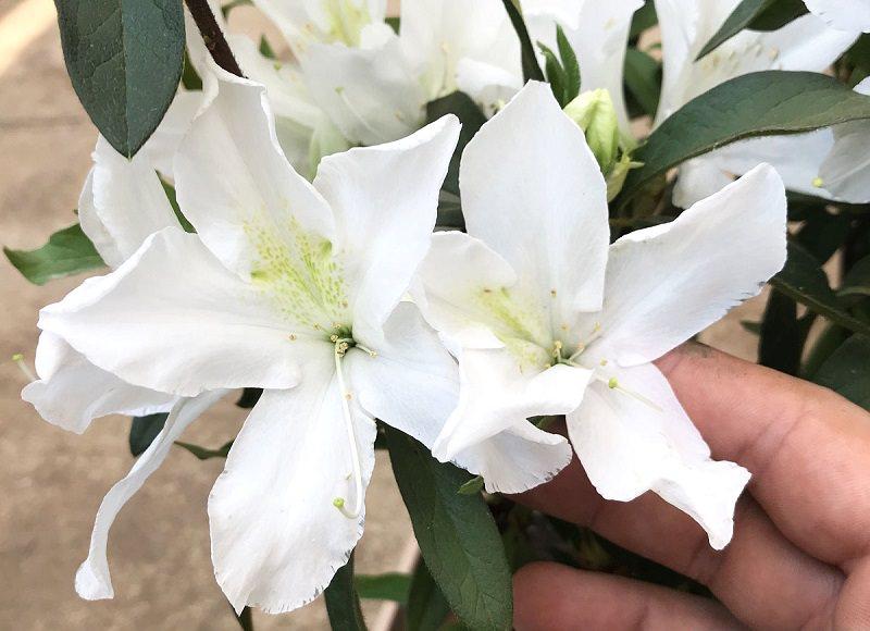 azaleia-branca-decoracao-de-casamento