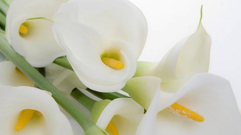 copo-de-leite-flores-brancas-para-casamento
