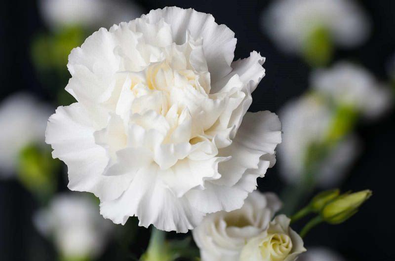 cravo-branco-para-decoracao-de-casamento
