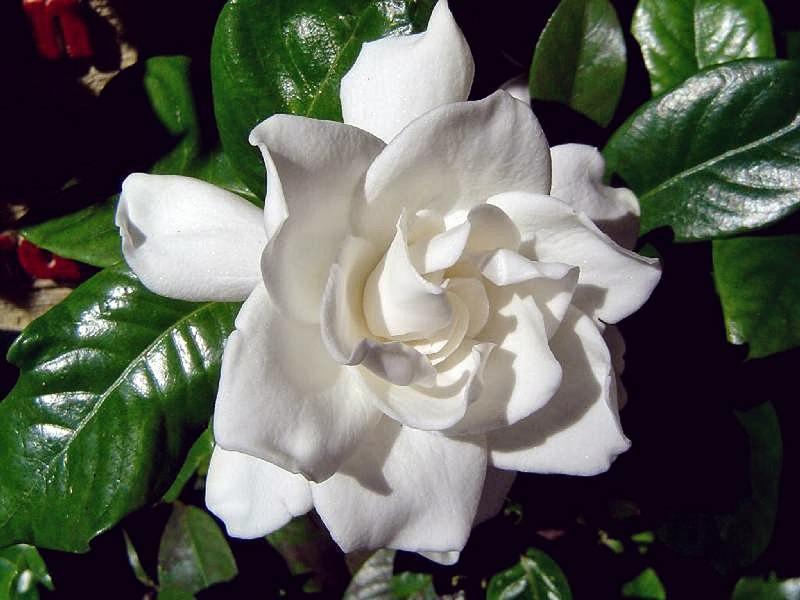 gardenia-branca-flor-de-casamento