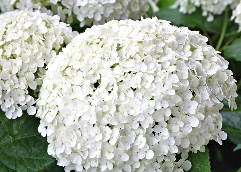 hortensia-branca-decoracao-de-casamento