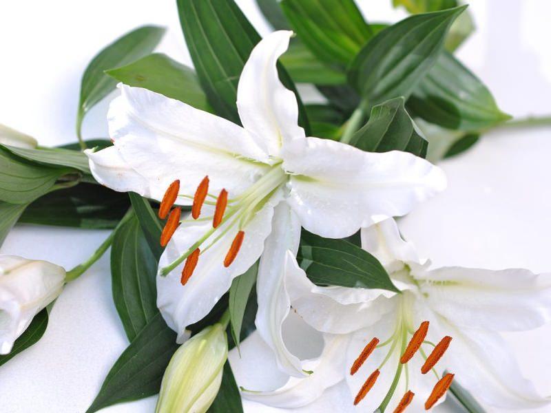 lirio-branco-flor-de-casamento