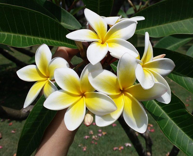 plumeria-branca-flor-de-casamento